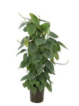 PHILODENDRON SCANDENS DESDE 6,90